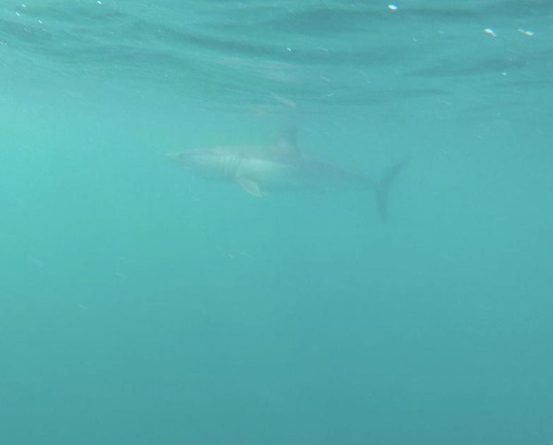 Bill got this photo of a Mako shark while doing a free swim shark dive.